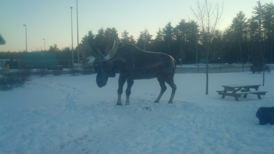 The closest I got to hitting a moose with my car at night was seeing one of many statues around the state
